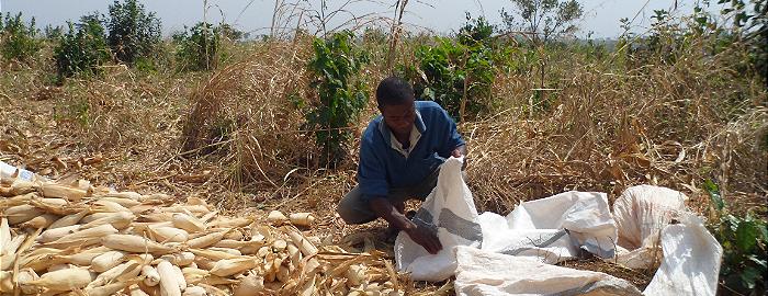 Een man werkt op de maïsvelden